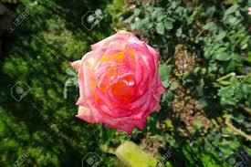 Shining Light Garden Nice Pink Rose Shining In The Light In A Garden
