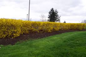 Image result for forsythia bush