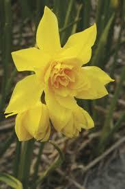 Narcissus - odorus flore pleno (plenus)