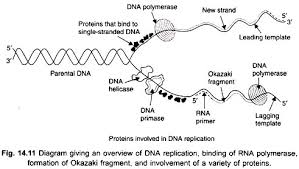 dna replication in eukaryotes genetics diagram giving an overview of dna replication binding of rna polymerase formation of okazaki