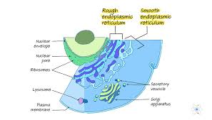 Endoplasmic Reticulum Endoplasmic Reticulum Rough Smooth Structure Function