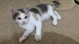 calico kittens for sale. Modren Sale Kitten For Sale Black White And Ginger  Calico Female In Kittens For Sale T
