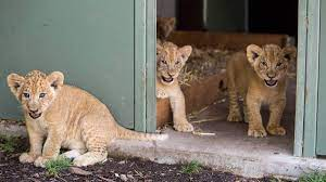 Photos, video: Baby lions at Dubbo zoo ...
