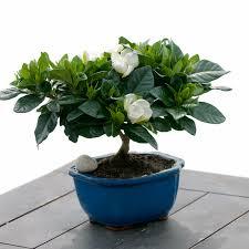 _dsc4246jpg bonsai tree office table