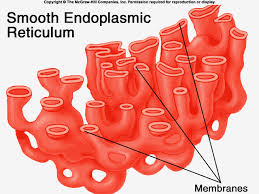 Endoplasmic Reticulum Conveyor Belt B Smooth Er Biolodolls Inc