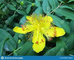 Aaron-Bart Oder Hypericum-Calycinum-Blume Stockfoto - Bild von hypericum,  calycinum: 161615090