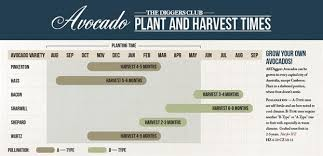 Avocado Tree Size Chart How To Grow Avocados In Australian Capital Cities The