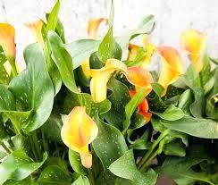 Calla Lily Color Chart Calla Lilly Calla Lily Plant Care Calla Lily Bouquet Bride