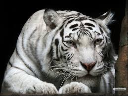 baby white tigers wallpaper. Modren Wallpaper White Tiger  Animals Zoo Park White Tiger Wallpapers For Desktop Free Intended Baby Tigers Wallpaper W