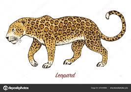 Africký Divoký Levhart Asijská Kočka Profil Zvířecí Jaguar V