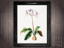 antique black frame. Griffinia Hyacinthia VINTAGE FLORAL PRINT   Antique Black Frame Antique Black Frame O