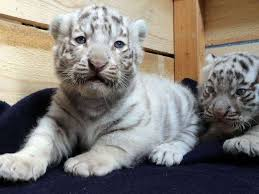 baby white cheetah.  Baby Adorable Well Trained White Lion Tiger Cubs  Cheetah Panther  Babies Intended Baby