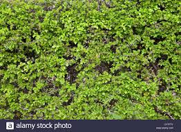 Green Background Texture Of A Neatly Clipped Hawthorn Hedge