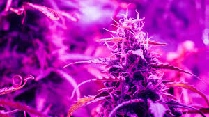 Pot Plant Light Cycle Wikileaf What Is The Best Light Schedule For Maximum Yields