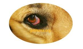 Red Eyes in Dogs: Bloodshot, Causes, Allergies | Dog Red Eyes with ...