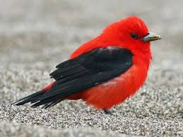 picture of red bird. Brilliant Red Scarlet Tanager On Picture Of Red Bird R