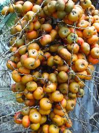 Closeup Of Palm Tree Fruits Stock Photo  Getty ImagesPalm Tree Orange Fruit