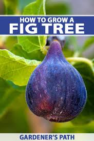 How To Grow A Fig Tree In Your Backyard Gardeners Path