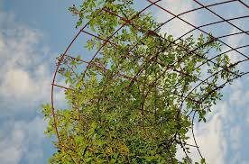 Plant Trellis Support Climbing Plants In Balconies And GardenClimbing Plant Trellis