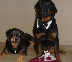 rottweiler dog mean. if you love the breed then get involved and help us rescue more of these amazing dogs. rotties are best! they humble appreciative. rottweiler dog mean