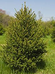 hopestill farm A Guide To Finding Great Christmas Trees In Boston