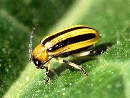 garden pest. BEETLES Garden Pest E