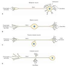 Histology Of The Nervous System The Neuron Part 2