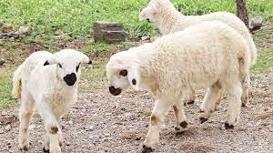 صوت الخروف , خروف ,صوت الغنم - YouTube