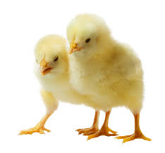 live baby chicken. Wonderful Chicken Chickens With Live Baby Chicken F