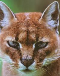 Known Species Of Wild Cats Wild Cats Magazine