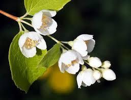 Image result for jasmine flower