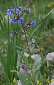 Anchusa barrelieri - Wikipedia