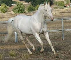 white horses. Exellent Horses Truly White Horses Do Exist A Gene Called Dominant White Has Been  Identified In Several Different Breeds Of And Is Responsible For Two Color Breeds  Inside Horses R