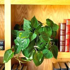 house plant with heart shaped leaves house plant waxy leaves philodendron is a fast growing foliage