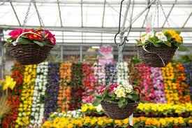 hanging baskets at almondsbury garden centre in bristol