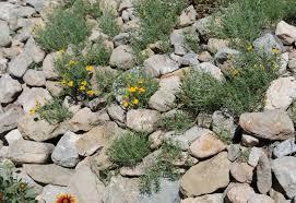 desert zinnia in rocks