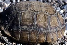 Identifying California Turtles