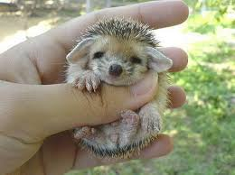 Image result for baby hedgehog