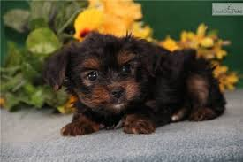 cute yorkie puppies for sale. Plain For Buster Jk Yorkshire Terrier  Yorkie Puppy For Sale Near Harrisburg  Pennsylvania  72ce3235afb1 For Cute Puppies Sale A