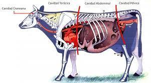 Anatomía Topográfica El estudio anatómico del organismo de los animales de  interés zootécnico o de regiones del mismo asume