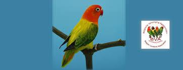 Fischers Lovebird Agapornis Fischeri Lovebird Mutations