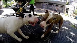 pitbull terrier fight. Perfect Pitbull Bull Terrier Vs Pitbull Fight And R
