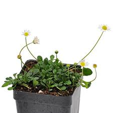 Amazon.com : Bellium minutum, Miniature Daisy : Flowering Plants ...