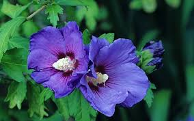 hibiscus flowers how to grow hibiscus the telegraph
