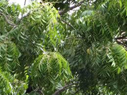 file neem tree leaves jpg  file neem tree leaves jpg