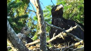 eagles nest size hawk eagle size comparison the incredible hawk in eagle nest