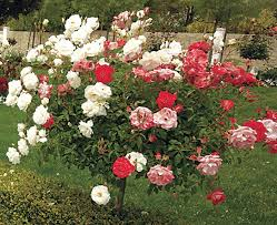 olympiad 36 inch tree rose rose trees