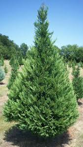 Types of Trees Grown in Texas - Wintergreen Christmas Tree Farm
