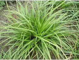 Bolcom Set 12 Stuks Carex Morowii Zegge