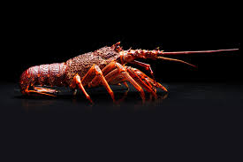 Image result for rock lobster